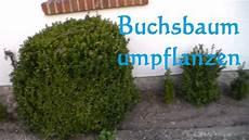 wann buchsbaum schneiden buchsbaum umpflanzen buxus umpflanzen wie und wann