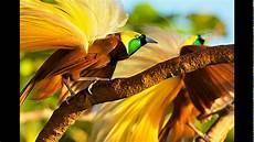 Galeri Gambar Burung Cendrawasih