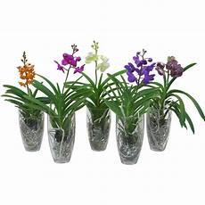 Vanda Orchidee Gro 223 Bl 252 Tig Mix 1 Trieber Im Glas Gef 228 223