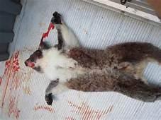 June 2014 Hancock Watch Updates 5 Koalas A Week Killed