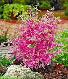 Japanse Dwerg Esdoorn Ph 246 Nix Garten Gartenprodukte