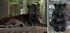 jaguar tiger hybrid 18 hybrid animals that are to believe actually exist