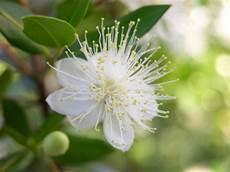 fiori di mirto mirto usi e propriet 224 pollicegreen