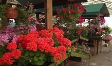 fiera dei fiori monticelli gerani e non alla tradizionale fiera dei