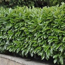 Laurier Palme Caucasica Plantes Et Jardins