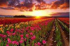 flower wallpaper on tulip field at sunset hd wallpaper background image