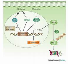 14 3 3 regulation in normal and cancer cells the 14 3 3 gene has a download scientific diagram