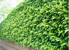 Buy Portuguese Laurel Hedging Portugal Laurel Hedge