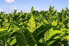 tabakpflanze tipps zum pflanzen pflegen 220 berwintern