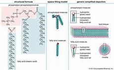 lipid bilayer biology britannica