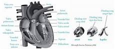 Gambar Jantung Beserta Bagian Bagiannya Berbagai Bagian