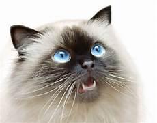 himalayan cats most popular himalayan cat names for cats