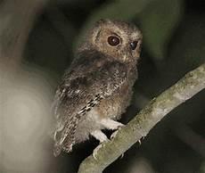 Mengenal Burung Hantu Celepuk Rajah Burung Gue