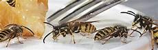 wespen im mauerwerk wespennest bek 228 mpfen beseitigen und entfernen