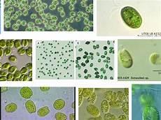 Gambar Jenis Fitoplankton Sebagai Pakan Alami Ikan Info