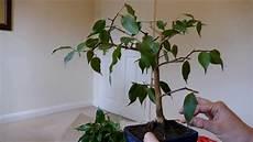 pruning my ficus benjamina bonsai