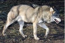 wolf münchen kanadische w 246 lfe polarw 246 lfe tier fotos eu