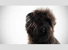 Affenpinscher : Dog Breed Selector : Animal Planet