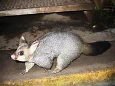 Kleine Haustiere Liste - die tierwelt australiens