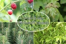 hecke immergrün ungiftig welche heckenpflanzen sind ungiftig 10 nicht giftige hecken