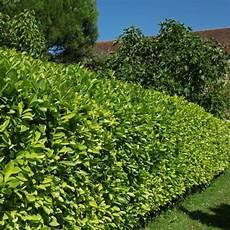 Kit De Haie Haie De Laurier Palme Rotundifolia Pour 10 M