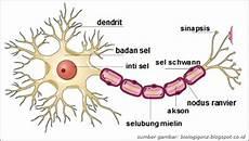 Bagian Bagian Sistem Saraf Dan Fungsinya Berbagai Bagian