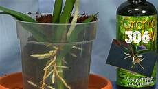 orchidee durch stecklinge vermehren die bambusorchidee