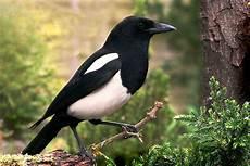 elster vogel diebisch diebische elstern fakten sprechen die v 246 gel sie