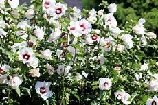 hibiskus hochstamm schneiden hibiskus schneiden so gelingt der r 252 ckschnitt des