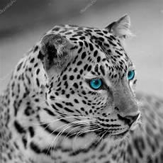 Zwart Wit Jaguar Stockfoto 169 Piyagoon 66495693