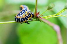caterpillars insect wallpaper free hd images for