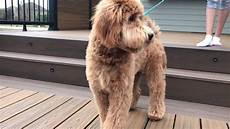 Semi Short Haircut On A Goldendoodle Goldendoodles | collection of semi short haircut on a goldendoodle goldendoodles scenes from my week lark