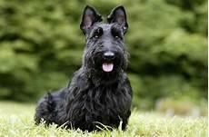 scottish terrier prix scottish terrier caract 232 re origine prix 233 ducation race de chien fr