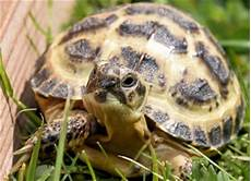 horsfield s tortoise care sheet reptile centre