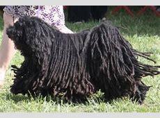 Puli Breed Information, Puli Images, Puli Dog Breed Info