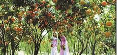 Cara Jitu Mencangkok Pohon Jeruk Supaya Cepat Berbuah