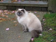 himalayan cats cats and kittens himalayan cat