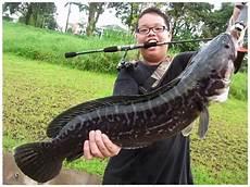 Foto Foto Ikan Toman Ikan Gabus Toman