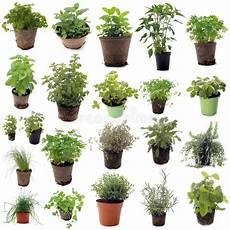 herbes aromatiques photo stock image du nature basilic