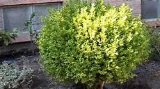 buchsbaum schneiden formen buxus sempervirens