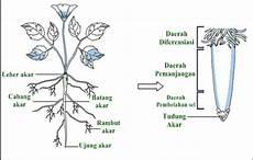Morfologi Akar Tumbuhan Contoh Gambar Dan Penjelasannya