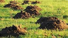 graben marder löcher im garten l 246 cher im rasen im garten oder in der erde welches tier