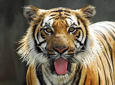 Harimau Malaya Memang Rizalis Ent Flickr