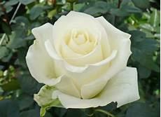 gambar bunga mawar lengkap dengan jenis jenisnya