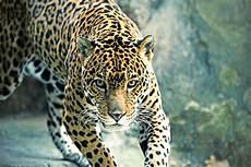 jaguar information for jaguar facts the jaguar