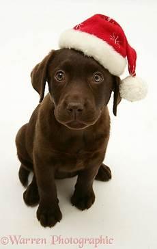 dog chocolate labrador retriever pup wearing a santa hat photo wp20014