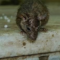 Ratten Im Keller Bek 228 Mpfen Anzeichen Mietrecht Bek 228 Mpfung