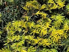 eibe gelbe nadeln eiben krankheiten 187 ursachen ma 223 nahmen bei gelben nadeln