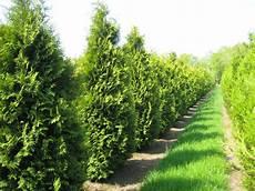 thuja brabant pflanzen thuja occidentalis brabant den berk nurseries