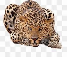 Singa Jaguar Macan Tutul Afrika Gambar Png